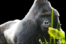 Eatern Lowland Gorilla