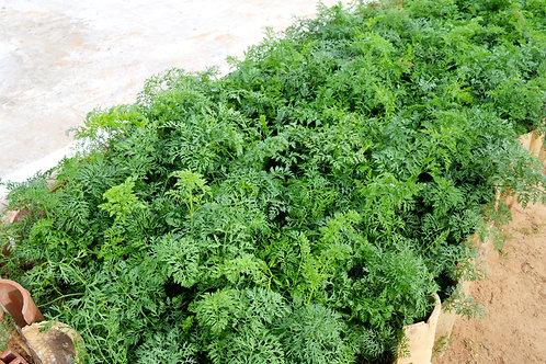 Produção Agroecológica de Cenoura