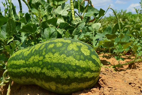 Melancia Agricultura Familiar