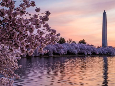 cherry-blossom-bars-washington-dc