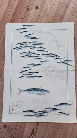 sardines et maquereau