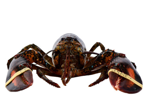 Lobster_Live_zps06ffacee_large