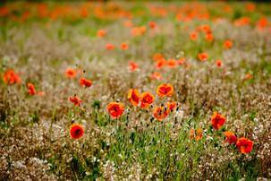 Poppy field in Norfolk