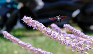 Black bee caught in flight