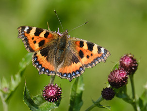 Butterfly resting on a thistle