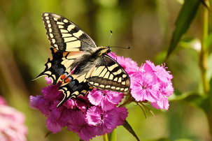 Swallowtail Butterfly at Hickling Broad in Norfolk