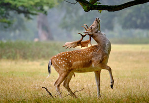 Fallow deer reaching for food at the Holkham Hall estate in Norfolk