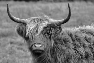 Highland cattle at Strumpshaw fen in Norfolk