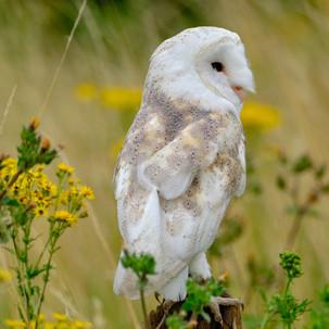 Barn owl in Norfolk
