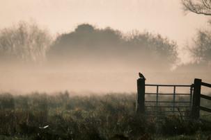 Kestrel hunting in the early morning light