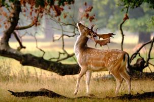 Fallow deer at the Holkham Hall estate in Norfolk