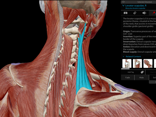 Why pain or tightness in neck, shoulders and upper trapezius