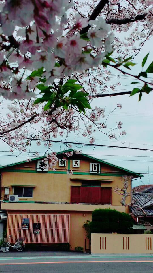 芳川 駐車場 桜