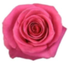 pink%20Floyd%20Rose_edited.jpg