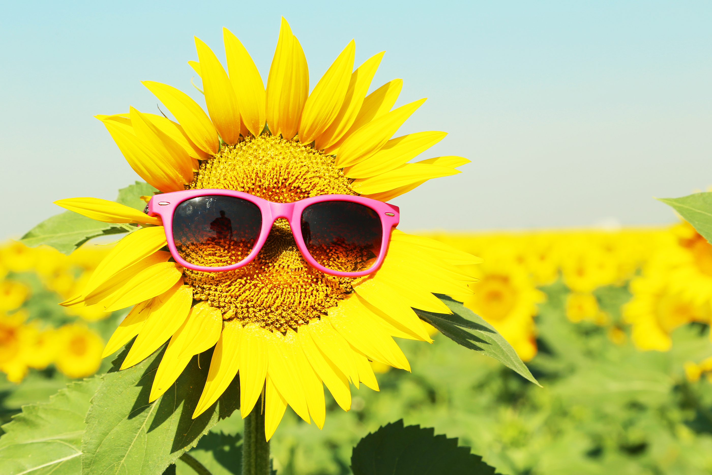 Sunflower With Sunglasses In The Field