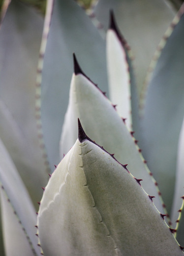 Agave textures