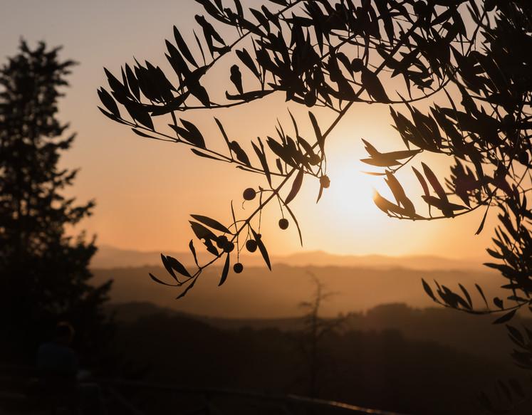 Olive tree at sunset