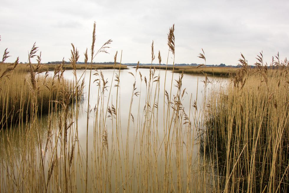 Reeds at Snape, Suffolk