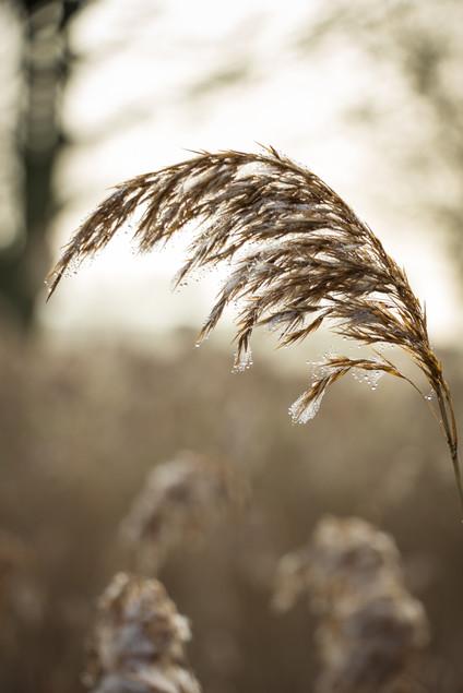 Backlit grasses with morning dew