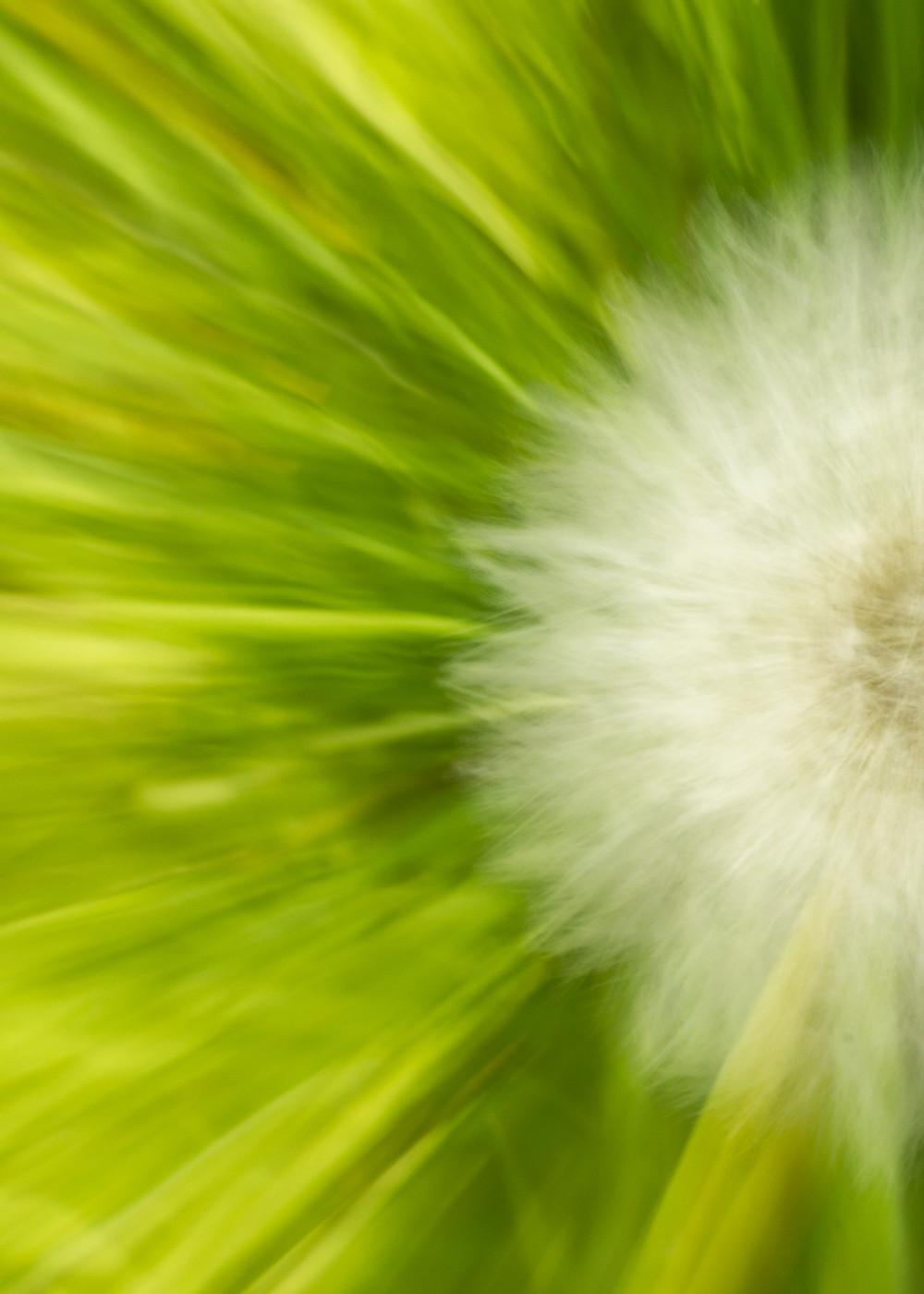 Zoomed image of half a dandelion