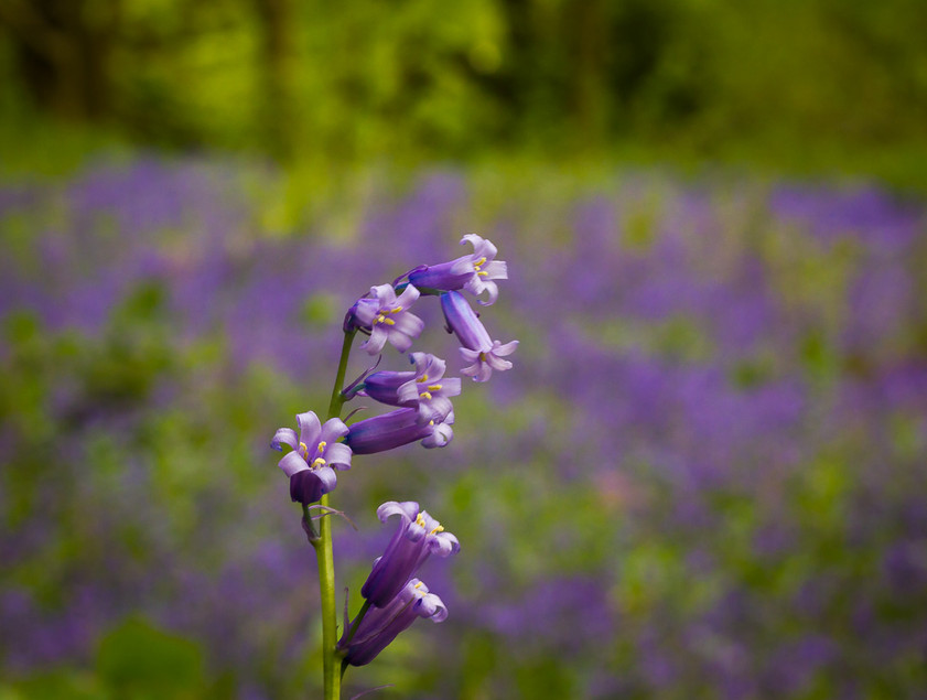 Bluebell time in the woods