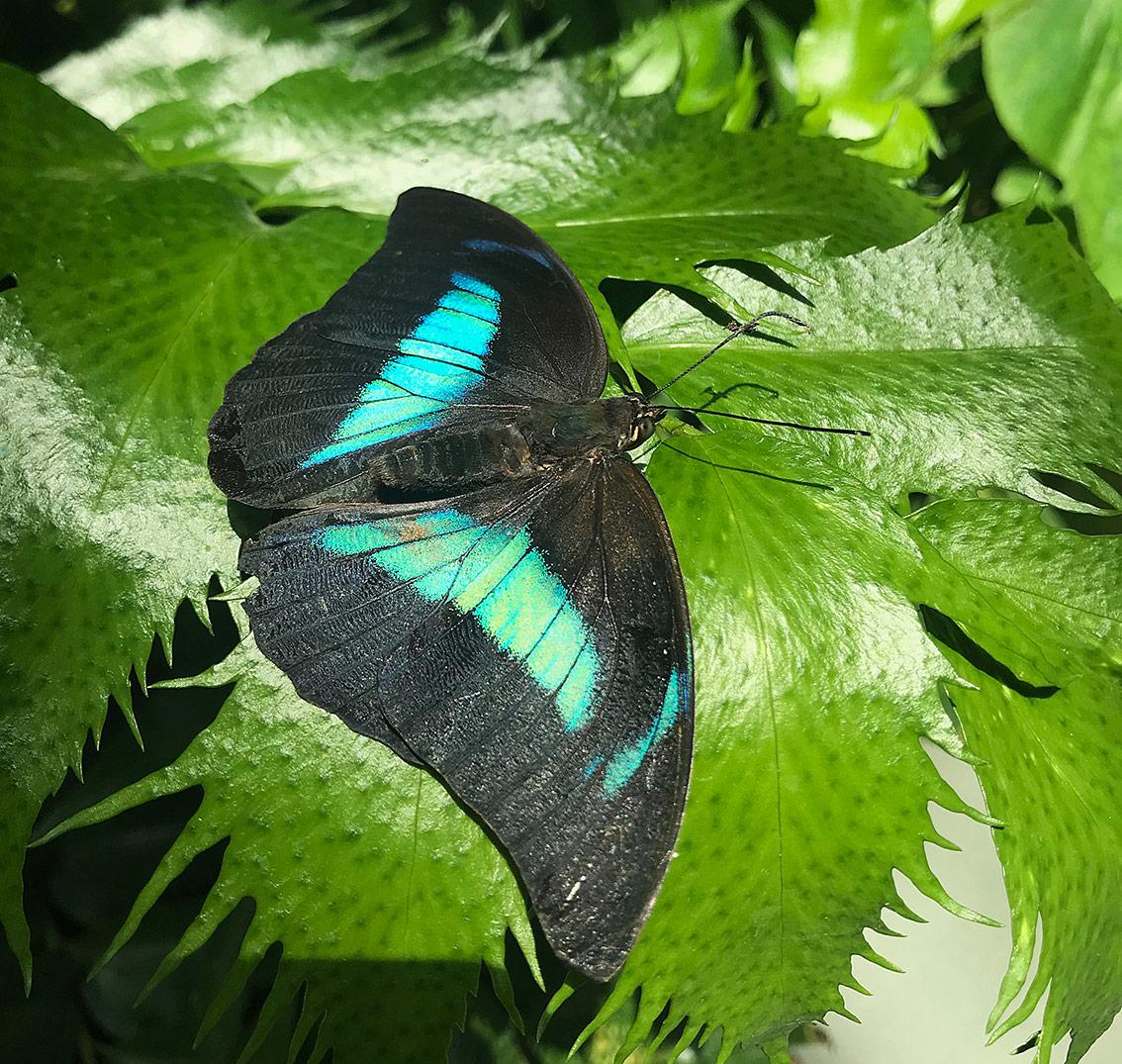 Le splendide farfalle nella serra tropicale
