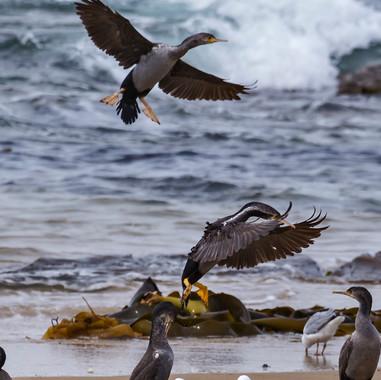 Gulls and Shags
