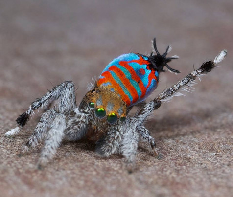 dancing peacockspider