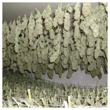Understanding the art of drying and curing marijuana