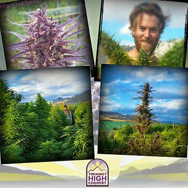 Tonasket organic marijuana cannabis sustainable sun grown