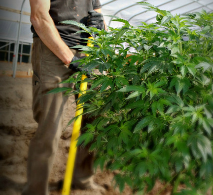 Green Barn Farms in the news: Why the future of good weed looks a lot like a homegrown tomato
