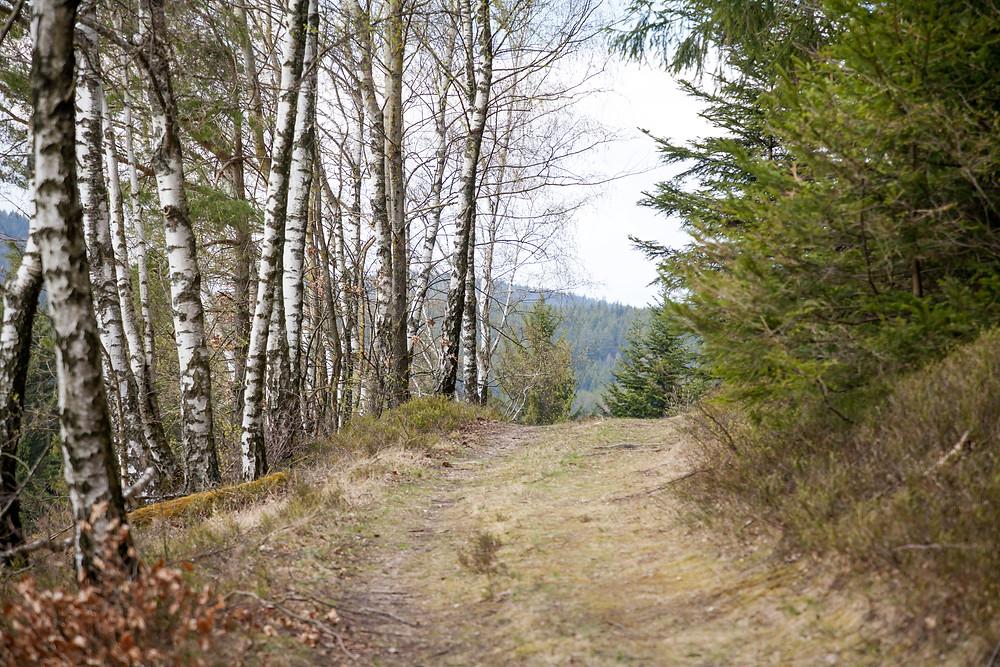 Birken, Allee, Wald, Waldweg