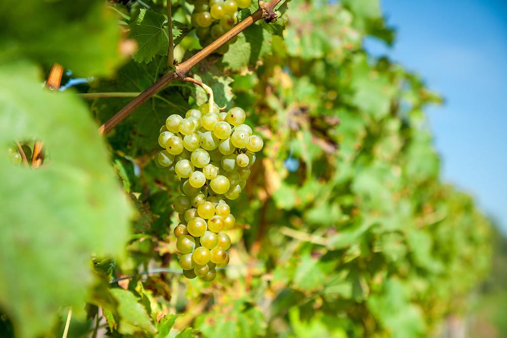 Wandern, Weinviertel, Niederösterreich, Wanderung, Weintraube