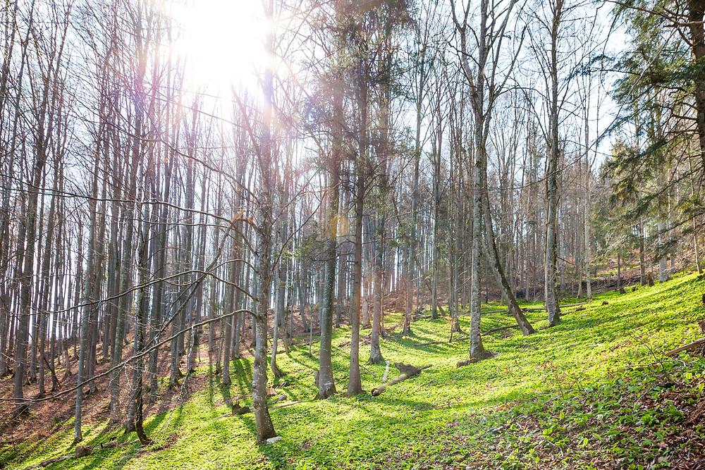 Bärlauch, Wald, Buchenwald, Frühling, Wildkraut, Wandern, Wanderung