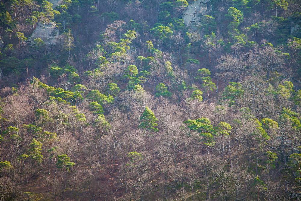 Vogelbergsteig, Dürnstein, Wachau, Niederösterreich, Donau, Wandern, Wanderung, Wanderweg, Steig, Wald, Frühling, Föhren, Buchen
