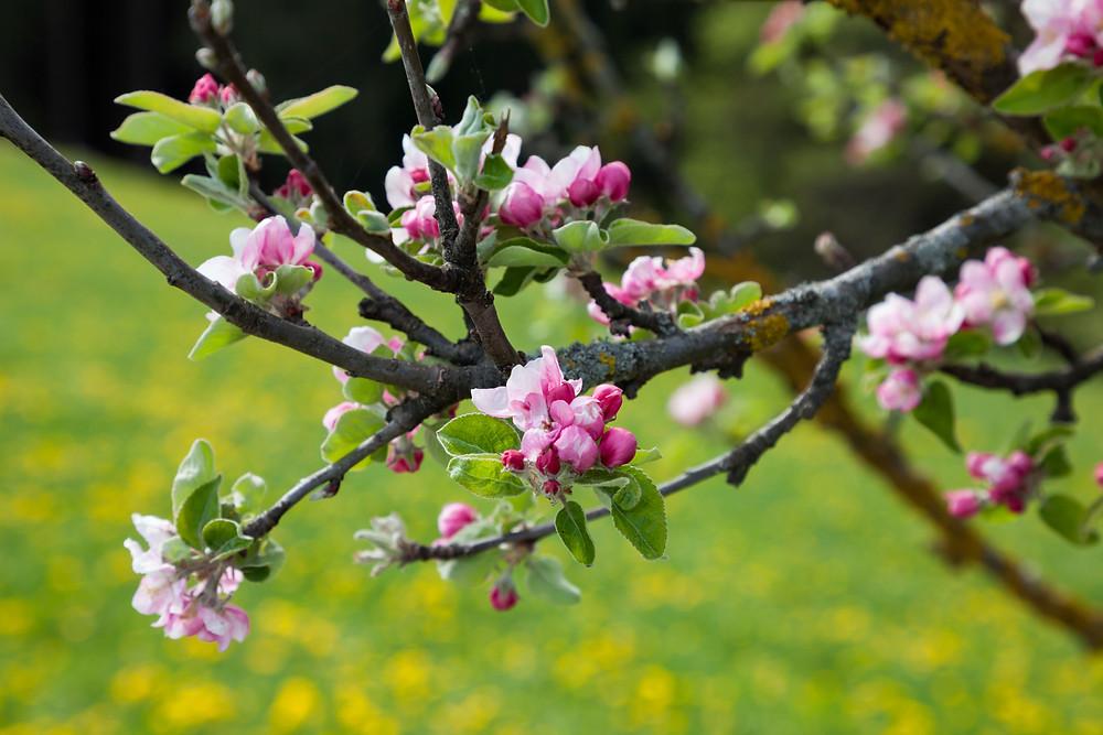 Apfelblüte, Apfelbaum, Apfel, Obstbaum, Mostviertel, Niederösterreich