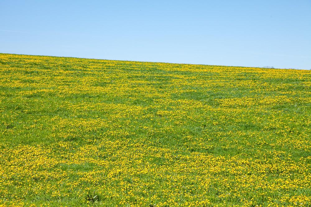 Löwenzahn, Pusteblume, Wiese, Blumenwiese, Mostviertel, Niederösterreich, Wandern, Ausflug, Wandertipp, Mostobstwanderweg