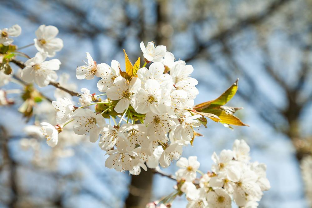 Krischblüte, Wachau, Kirsche, Baumblüte, Frühling, Niederösterreich