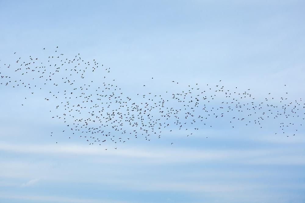 Vogel, Vögel, Birdwatching, Vogelbeobachtung, Vogelschwarm, Podersdorf, Neusiedler See, Neusiedlersee, Burgenland, Urlaub, Kurzurlaub, Reise, Radurlaub, Radfahren, Radrunde, Radtour