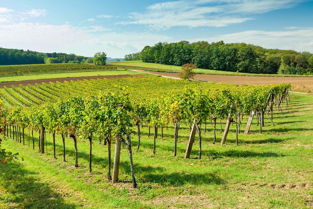 Wandern, Weinviertel, Niederösterreich, Wanderung, Weintrauben, Weinstöcke, Weingarten, Weinberg