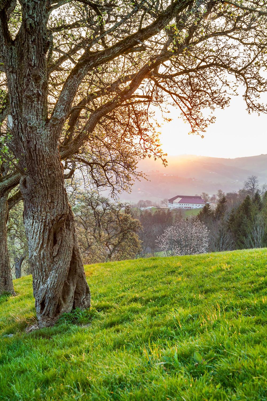 Sonnenuntergang, Landschaft, Mostviertel, Niederösterreich, Hügel, Wiese, Mostbirnbaum, Baumblüte, Bauernhof