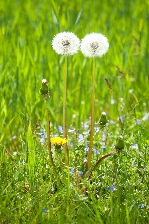Pusteblumen, Löwenzahn, Aubergwarte, Sonnentor, Kräuterwanderweg, Tutgut-Wanderweg, Sprögnitz, Waldviertel, Wald4tel, Niederösterreich, Wandern, Wandertipp, Ausflug