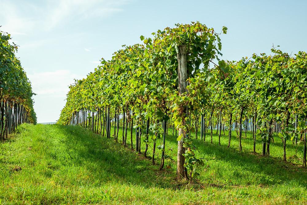 Wandern, Weinviertel, Niederösterreich, Wanderung, Weinstock, Weingarten, Weinreben, Weinberg