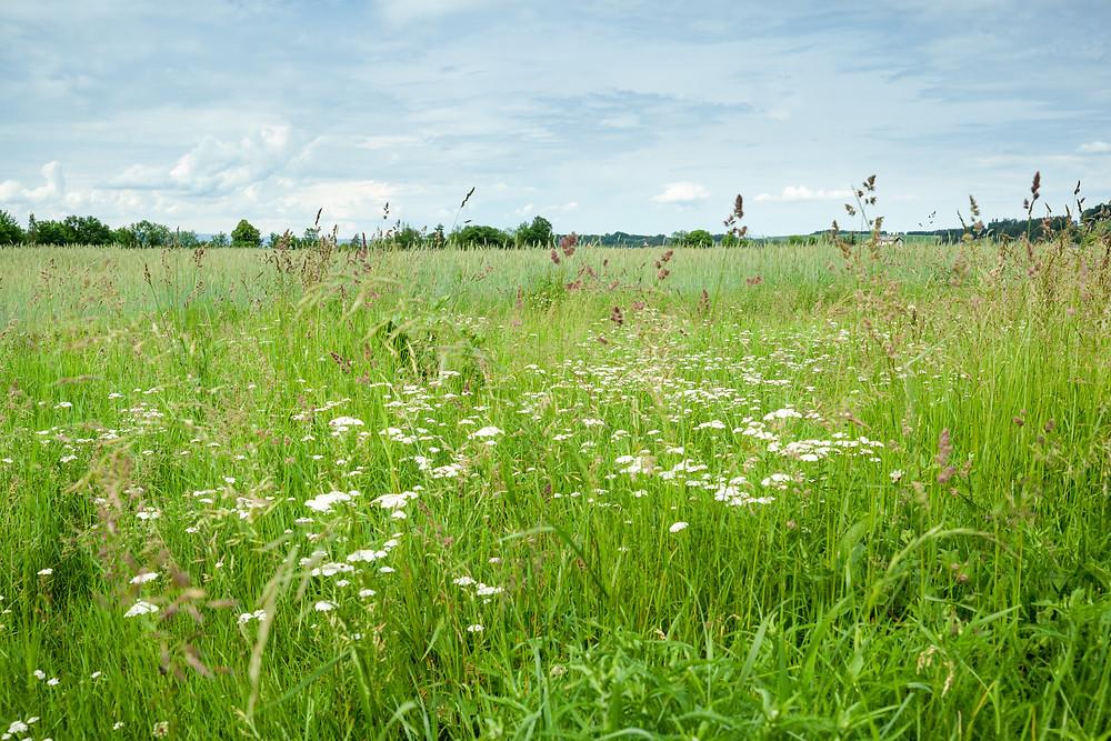 Wiesenblumen, Blumen, Blumenwiese, Gräser, Mostviertel, Sommer, Natur