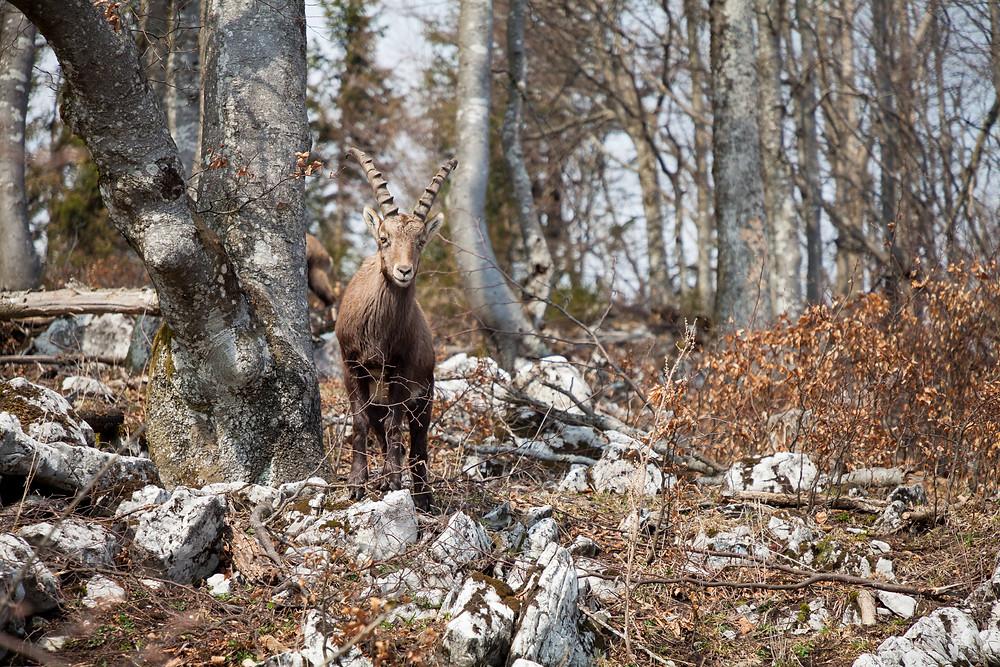 Steinbock, Steinböcke, Tiersichtung, Naturbeobachtung, Hohenstein, Pielachtal, Mostviertel, Niederösterreich, Wandern, Wanderung, Bergwandern