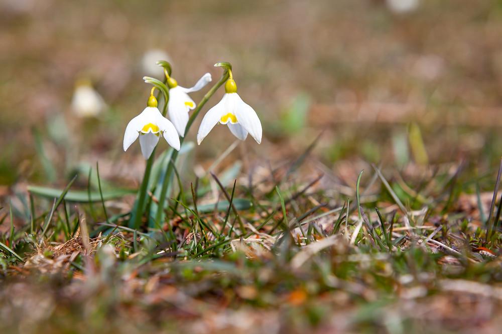 Schneeglöckchen, Frühling, Frühlingsblüher, Blume, Au, Wiese