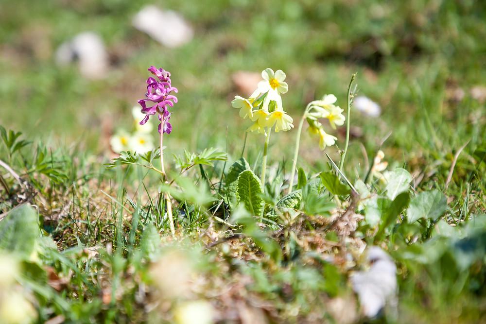 Himmelschlüssel, Schlüsselblume, Wiesenblume, Waldblume, Frühling