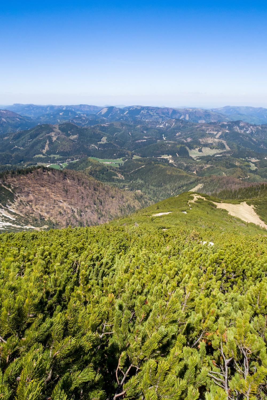 Latschen. Göller, Mostviertel, Alpen, Niederösterreich, Wandern, Bergtour, Wandertipp, Bergwandern