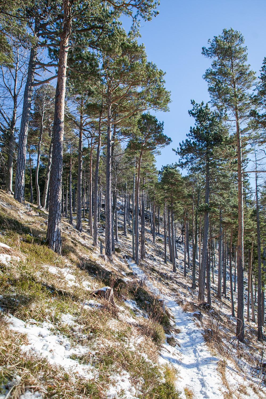 Steig, Wanderweg, Unterberg, Ramsau, Voralpen, Niederösterreich, Wandern, Wanderungen, Winterwandern, Föhren, Föhrenwald