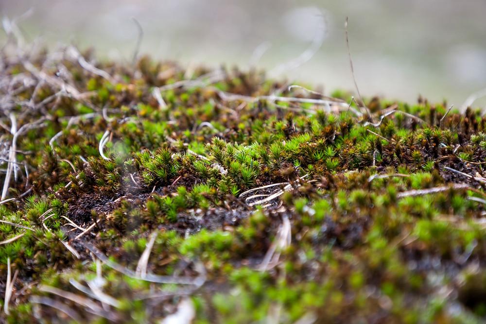Moos, Detailaufnahme, Makroaufnahme, Großaufnahme, Pflanze